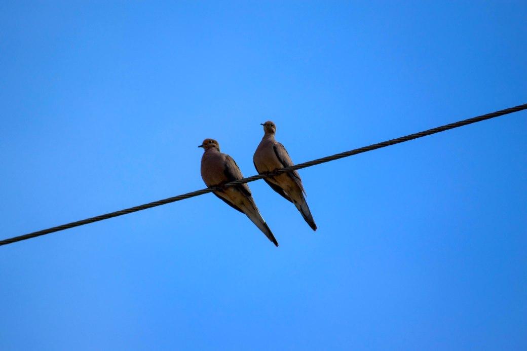 Pigeons 2 NL