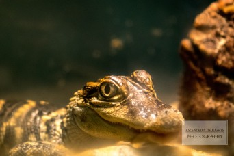 Baby Alligator 3 WM