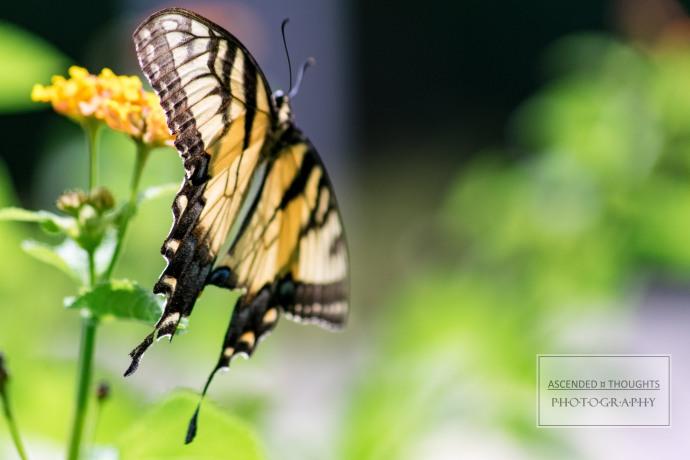 Butterflying 5 WM