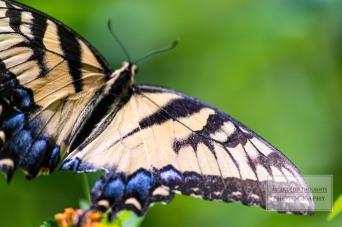 Butterflying 6 WM