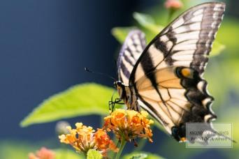 Butterflying 7 WM